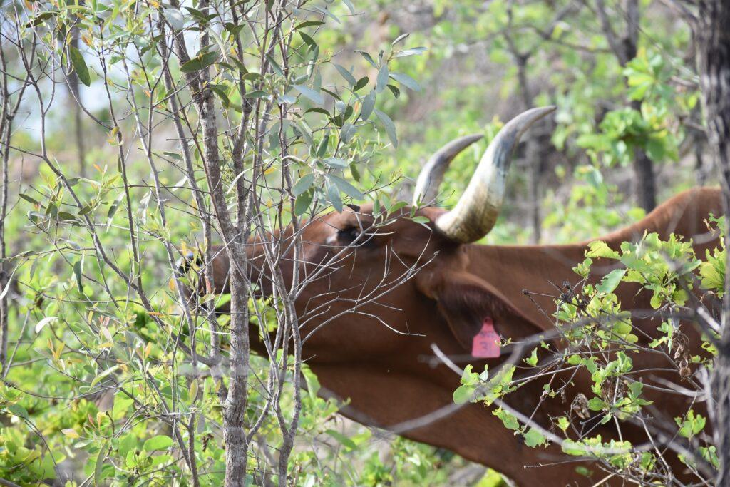 Outback Australia, Atherton Tablelands Cairns Eco tourism wildlife birds, horses, holiday house bush retreat big horns Brahman cattle