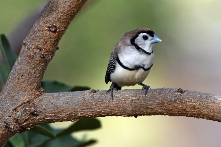 Double Barred Finch Queensland Holiday-house Atherton Tableland Outback Eco-friendly sustainable Birds Bird watching nature wildlife