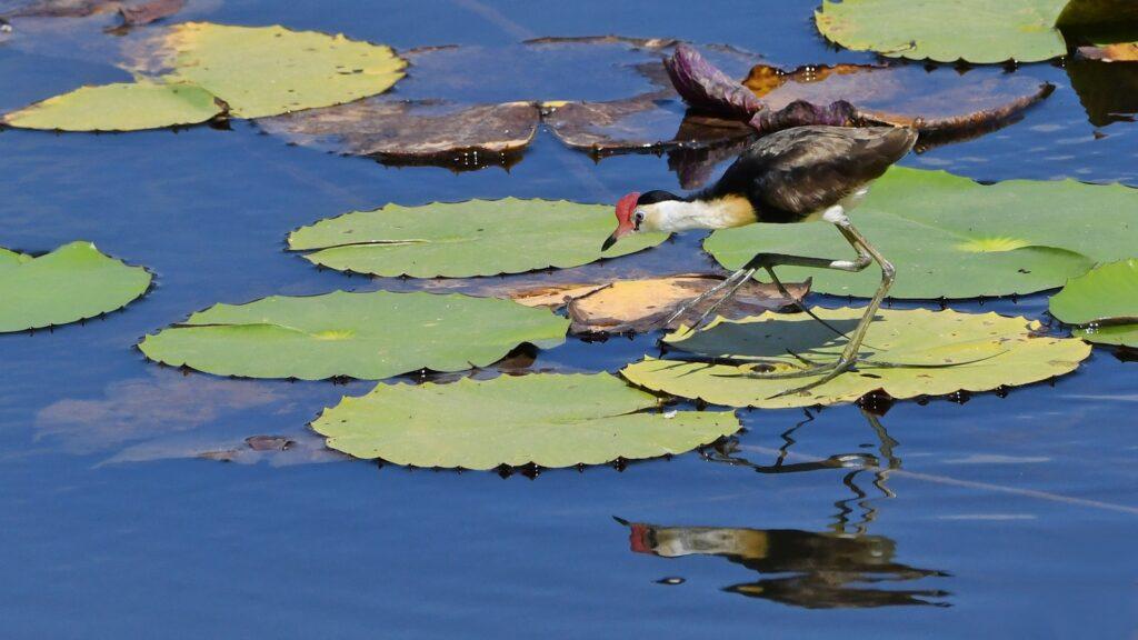 Jacana Water birds Ironbark House Birds Outback Australia Holiday