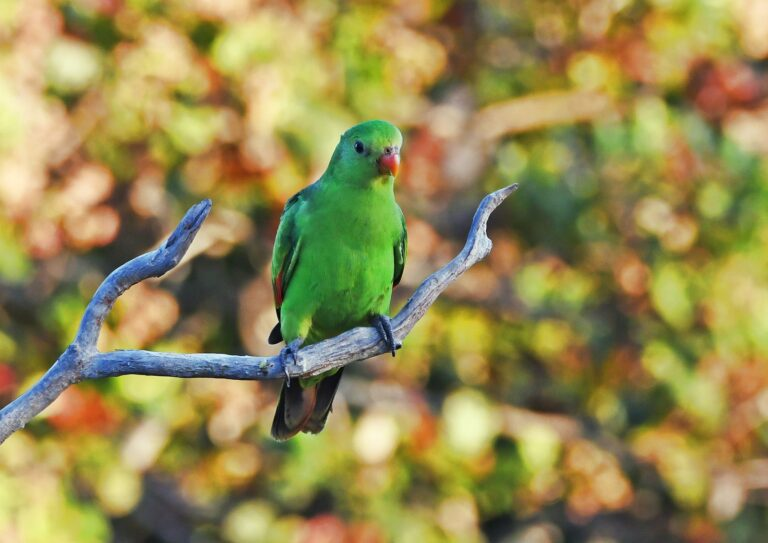 Red winged parrot Queensland Holiday-house Atherton Tableland Outback Eco-friendly sustainable Birds Bird watching nature wildlife