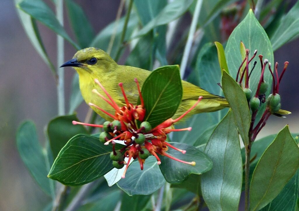 Honey Eater Queensland Holiday-house Atherton Tableland Outback Eco-friendly sustainable Birds Bird watching nature wildlife