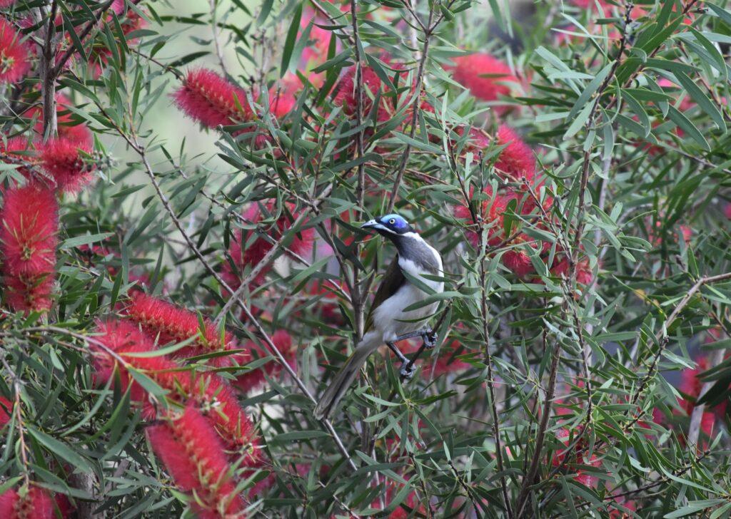 Outback Australia, Atherton Tablelands Cairns Eco tourism wildlife birds, horses, holiday house bush retreat blue faced honey-eater